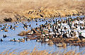Mallards on Lacreek National Wildlife Refuge (12824062055).jpg