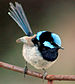 Superb Fairywren - Photo (c) KeresH, some rights reserved (CC BY-SA)