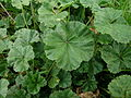Malva neglecta leaf2 (14446552549).jpg