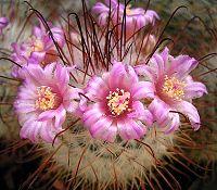 Mammillaria bombycina5 ies