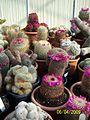 Mammillaria species (3422590902).jpg
