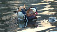 File:Mandarin duck in Central Park (22342).webm
