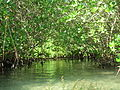 Mangroves, up close (4) (8746494663).jpg