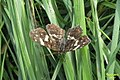 Map butterfly (NH) (7859077462).jpg