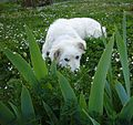 Maremma Sheepdog with irises leaves.jpg