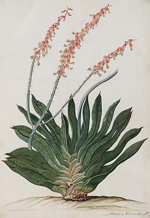 Maria Moninckx - Gasteria brachyphylla (Salm-Dyck) Van Jaarsv.
