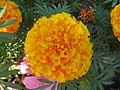 Marigold - ചെട്ടിമല്ലി 006.JPG