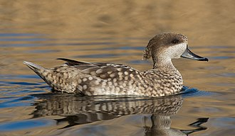 Marbled duck - Image: Marmaronetta angustirostris, London Wetland Centre, UK Diliff