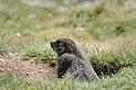Marmota marmota Tauerntal 20160807 A03.jpg