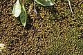 Marsupella emarginata (b, 141236-472435) 5655.JPG