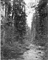 Mashel River looking west from the wagon bridge, vicinity of Eatonville, August 18, 1899 (WAITE 157).jpeg