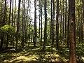 Masinagudi habitat Silver Oak Grevillea robusta IMG 20180505 124243988.jpg
