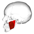 Masseter muscle - lateral view.png