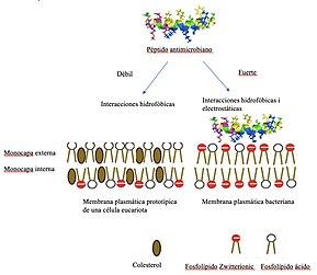 Péptido Antimicrobiano Wikipedia La Enciclopedia Libre