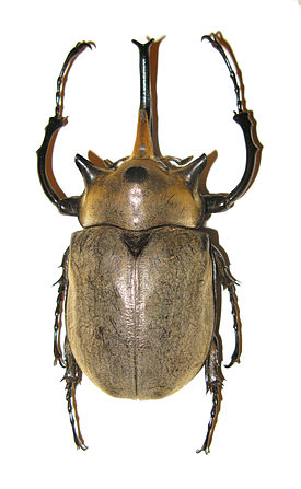 Megasoma elephas male from Mexico.JPG