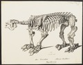 Megatherium cuvierii - skelet - 1700-1880 - Print - Iconographia Zoologica - Special Collections University of Amsterdam - UBA01 IZ21000131.tif