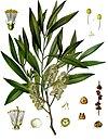 Melaleuca leucadendra - Köhler–s Medizinal-Pflanzen-092.jpg