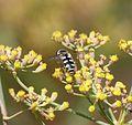 Melangyna umbellartarum - Flickr - gailhampshire.jpg