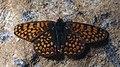 Melitaea cinxia - Glanville fritillary - Шашечница обыкновенная (48127122581).jpg