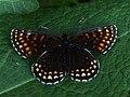 Melitaea diamina - False heath fritillary - Шашечница черноватая (41109121572).jpg