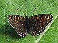 Melitaea diamina - False heath fritillary - Шашечница черноватая (42270245764).jpg
