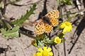 Melitaea trivia fascelis - Lesser Spotted Fritillary 01.jpg