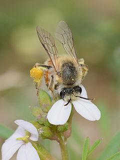 <i>Melitta</i> (bee) Genus of bees
