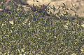Melopsittacus undulatus flock 6.jpg