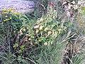 Mentha spicata sl19.jpg