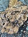 Meripilus giganteus 101211217.jpg