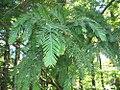Metasequoia glyptostroboides 4zz.jpg