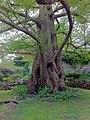 Metasequoia glyptostroboides in Jardin des Plantes de Paris D120416.jpg