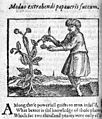 Method of extracting the juice from the poppy. Wellcome M0010469.jpg