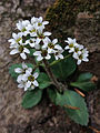 Micranthes virginiensis - Virginia Saxifrage 2.jpg