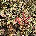 Mimosa aculeaticarpa (Fabaceae) - Fruit.jpg