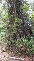 Mimosa ceratonia L. var. pseudo-obovata (Taub.) Barneby (8241636948).jpg