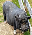 Mini pig in Finland.jpg