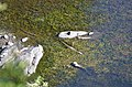 Mladí krokodýli (crocodiles) v řece Sweni River, Krugerův park - panoramio.jpg