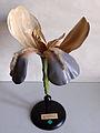 Modell von Iris germanica (Deutsche Schwertlilie) -Osterloh Nr. 127-.jpg
