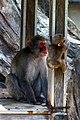 Mom and junior monkeys - Ueno Zoo - Tokyo - Japan (15863497082).jpg