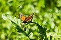 Monarch (26157868620).jpg