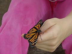 Monarch Butterfly (1).jpg