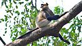 Monkey sitting on tree in Trivandrum zoo.,.jpg