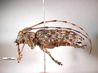 Bursaphelenchus xylophilus - Image: Monochamus alternatus