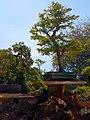Morikami Museum and Gardens - Bonsai 03.jpg