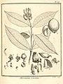 Moronobea coccinea Aublet 1775 pl 313.jpg