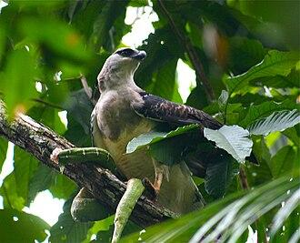 Ophiophagy - Crested eagle with emerald tree boa prey