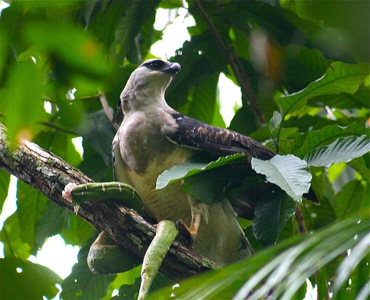 File:Morphnus guianensis eating green snake -Bolivia-8.jpg