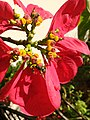 Mosca das flores (Ceriana sp) 07.jpg