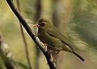 Фотография оливковой птицы с оранжевым клювом и ногами и черным кольцом на глазу.